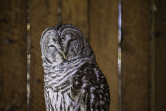 The Barred Owl. Barred Owls roost quietly in forest trees during the day, though they can occasionally be heard calling in daylight hours Royalty Free Stock Images
