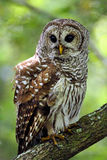 Barred owl perched on a branch in the everglades of Florida. The scientific name is Strix varia stock photos