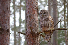 Barred Owl perched on a branch Royalty Free Stock Photo