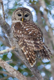 Barred Owl Perched on Branch and Watching Intently. The female barred owl looks intently while guarding her nearby nest in the Everglades National Park, Florida stock image