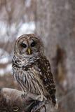 Barred Owl Royalty Free Stock Photos