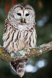 Portrait of a barred owl. Barred owl perched on a lichen covered branch Royalty Free Stock Photography
