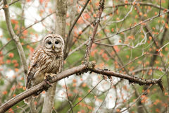 Barred Owl. A barred owl perched in a tree against a colorful background stock photos