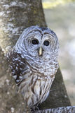 Barred Owl perched in tree Royalty Free Stock Photo