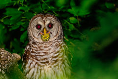 Barred Owl Perched in a Tree stock photo