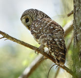 Barred owl. Perched on a twig stock images