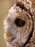 Beauteous Barred Owl Profile. A beautiful profile image of a Barred Owls face Stock Images