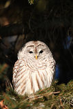 Barred owl in pine tree Royalty Free Stock Photos