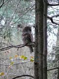 Barred Owl. On pine tree in North Stock Photography