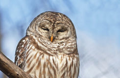 Barred Owl portrait Stock Images