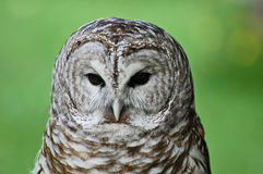 Barred Owl Portrait Stock Photos
