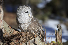 Barred Owl in Portrait Mode Stock Photography