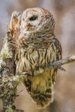 Barred Owl Portrait Royalty Free Stock Images
