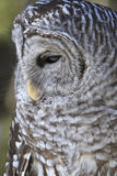 Barred owl in portrait position Stock Photos