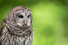 Barred Owl. Portrait of Barred Owl (Strix varia), aka Rain Owl, Wood Owl, or Striped Owl. Natural green background with copy space royalty free stock photos