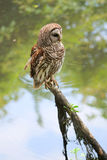 Barred owl portrait with water background Stock Photos