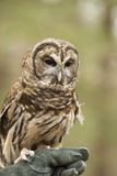 Barred Owl poses with his handler. Stock Images