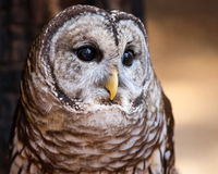 Barred Owl. A potrait of a barred owl Stock Image