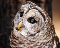 Barred Owl Potrait. A curious look from a barred owl Royalty Free Stock Images