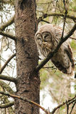 Barred Owl Preening Royalty Free Stock Photo