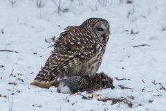 Barred Owl on prey Royalty Free Stock Images