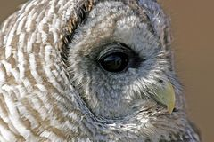 Barred Owl Profile. Closeup Profile of a Barred Owl Stock Photos