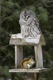 Barred Owl and Red Squirrel - Predator and Prey Royalty Free Stock Images
