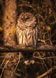 Barred owl resting in the autumn sun. 1 Royalty Free Stock Images