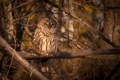 Barred owl resting in the autumn sun. 1 Stock Image