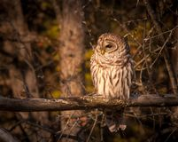Barred owl resting in the autumn sun. 1 Stock Images