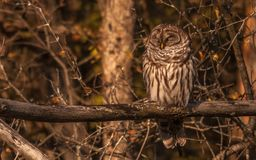 Barred owl resting in the autumn sun. Stock Photo