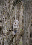 Barred Owl. Resting on a tree branch stump Stock Photo