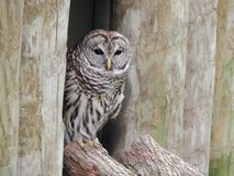 Barred Owl Resting on the Tree Stem Royalty Free Stock Photography