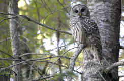 Barred Owl. A barred owl rests in a tree in the Cascade Mountains of Washington state royalty free stock photography