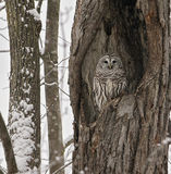 Barred Owl. A barred owl roosts camouflaged in the cavity of a large oak tree. Winter in Wisconsin stock images