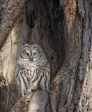 Barred owl. A barred owl roosts, camouflaged within a cavity of an oak tree. Winter in Wisconsin royalty free stock photography