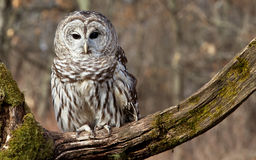 Barred Owl. Sits on a mossy branch in the northern Michigan woods royalty free stock photography
