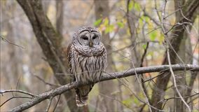 Barred Owl Sitting On Perch stock footage