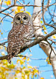 Barred Owl sitting on a branch.  British Columbia, Canada Royalty Free Stock Photo