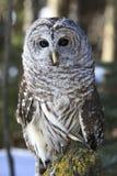 Barred owl sitting on log Stock Photo