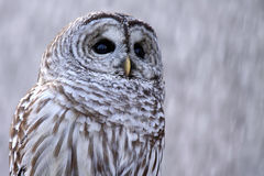 Barred Owl In Snow. Closeup of a wild Barred Owl in a winter snowstorm royalty free stock image