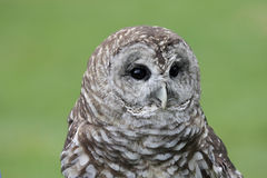Barred Owl (Strix varia). Close-up of a Barred Owl (Strix varia) with a green background stock image