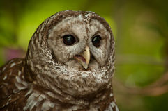 Barred Owl (Strix varia). Looking intensely with mouth open royalty free stock image