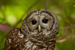 Barred Owl (Strix varia). Close up image of a Barred owl (Strix varia) looking at camera with blurred green background stock image