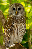 Barred Owl (Strix varia). Barred Owl perched on tree limb in wooded area stock images