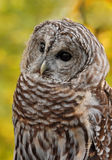 Barred Owl (Strix varia). Against green/gold background - captive bird royalty free stock photo