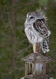 Barred Owl (Strix Varia) Stock Photo