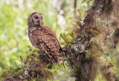 Barred Owl (Strix varia). An adult barred owl looks across a Florida landscape, from a perch covered in plants, mosses and other epiphytes stock image