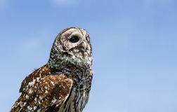 Barred Owl (Strix varia). Aka Rain Owl, Wood Owl, or Striped Owl, against blue sky with copy space royalty free stock images