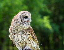 Barred Owl (Strix varia). Aka Rain Owl, Wood Owl, or Striped Owl, natural green background royalty free stock photo